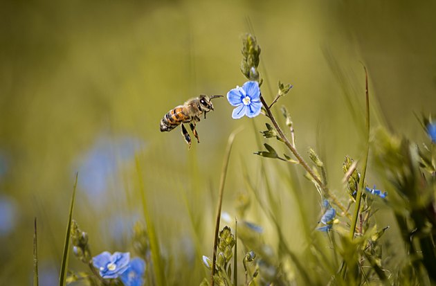 Beneficial Insects for Flowers: Honey Bee