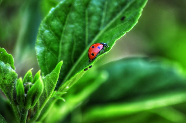 Beneficial Insects for Vegetable Gardens: Ladybug on a leaf