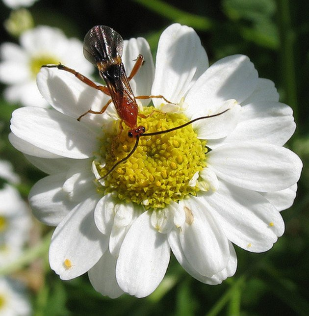 Beneficial Insects for Vegetable Gardens: Parasitic Wasps