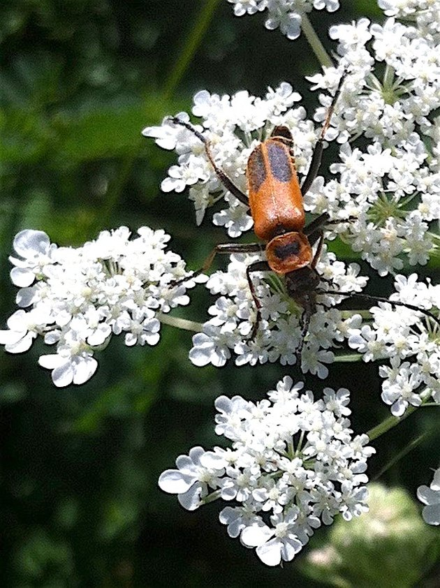 Beneficial Insects for Vegetable Gardens: Soldier Beetles