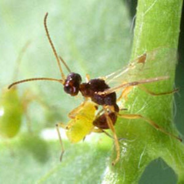 Beneficial Insects for Flowers: Trichogramma Wasps
