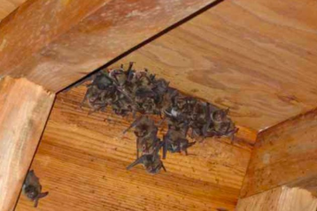 Bat colony in a house.