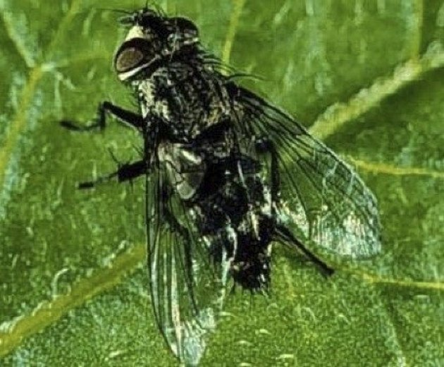 Beneficial Insects for Flowers: Tachinid Fly