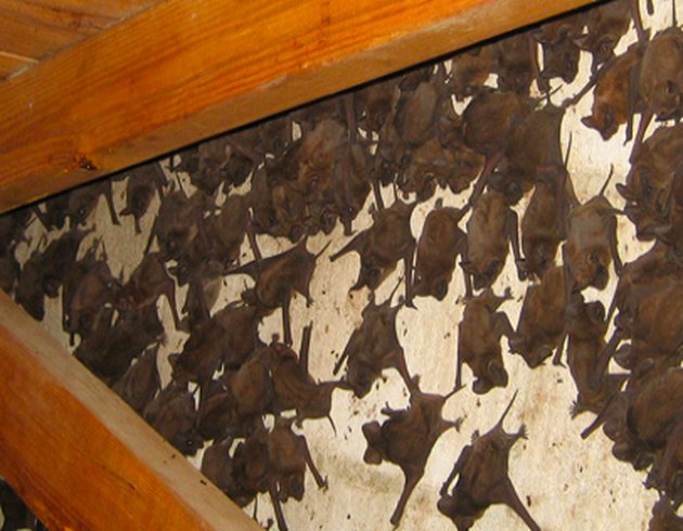 Bats in the attic.