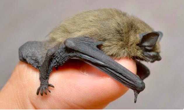 A small house bat.