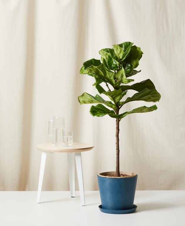 Bloomscape Fiddle Leaf Fig in blue pot next to small side table