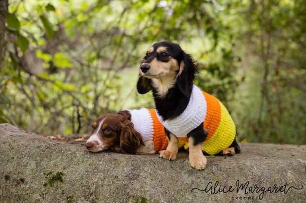 A dog dressed up like a piece of candy corn for Halloween