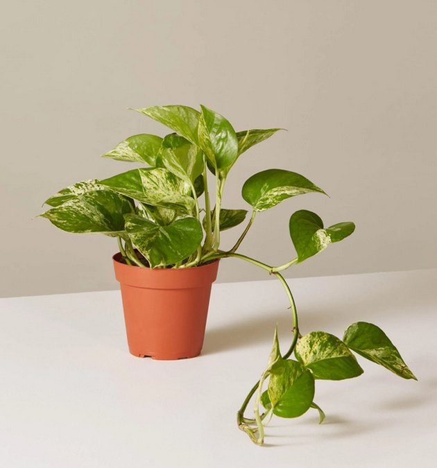 Pothos plant at The Sill