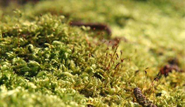 Lawn moss.