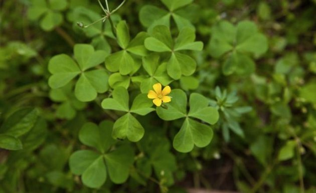 oxalis weed