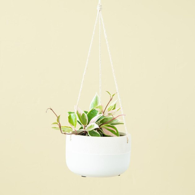 hoya plant in hanging planter