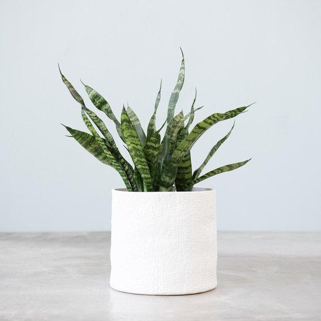 snake plant in planter