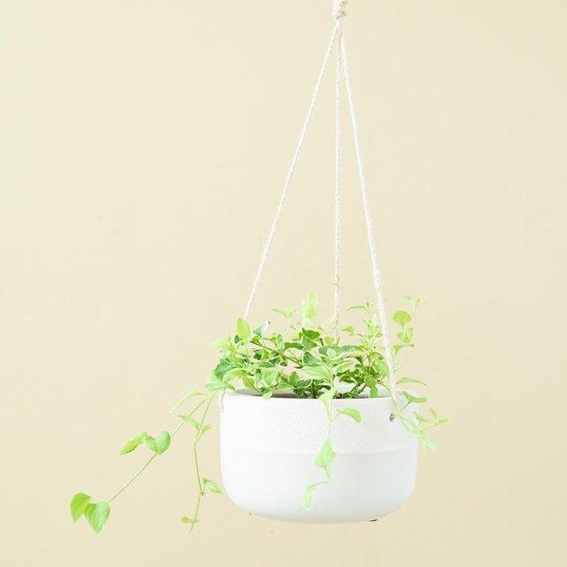 variegated major vinca plant in hanging planter
