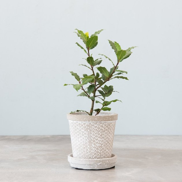 sweet bay laurel bush in ceramic planter