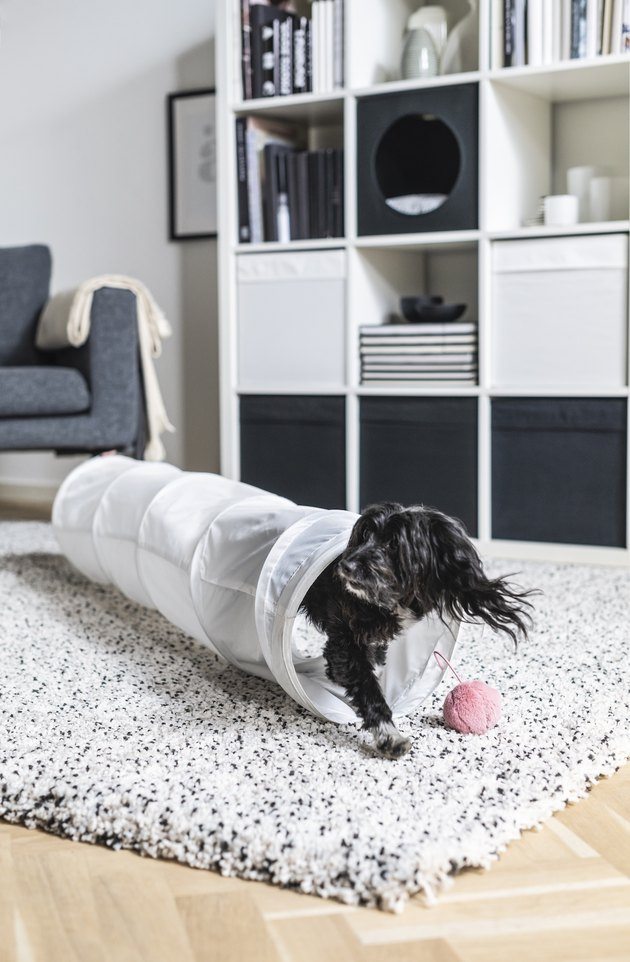 dog in play tunnel near bookshelf