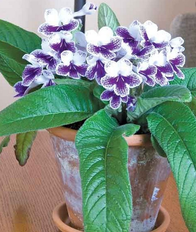 Cape Primrose 'Purple Panda' plant