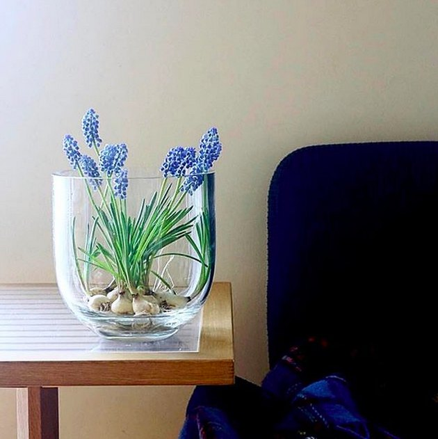 Grape Hyacinth plant on table