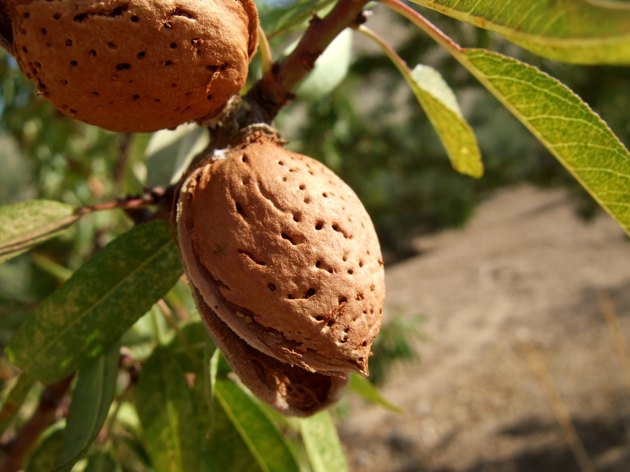 Close-up of almond shell growing on a tree branch