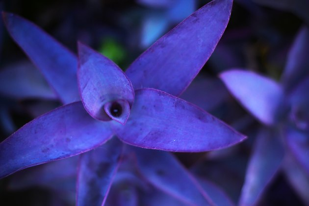 Purple leaves background, Tradescantia pallida or Purple Heart