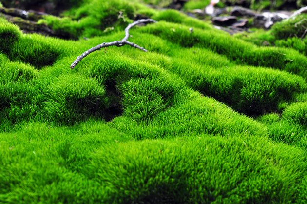 Green surface of moss