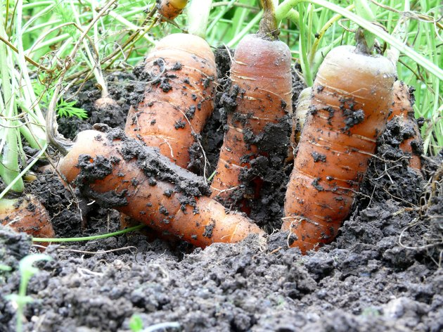 Close-Up Of Carrots Growing In Garden