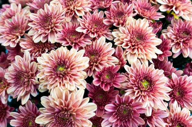 Pinkish Purplish Chrysanthemum Flower