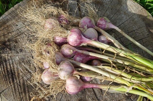 Fresh garlic harvest on a wooden stump