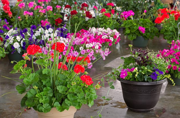 Geraniums and petunias