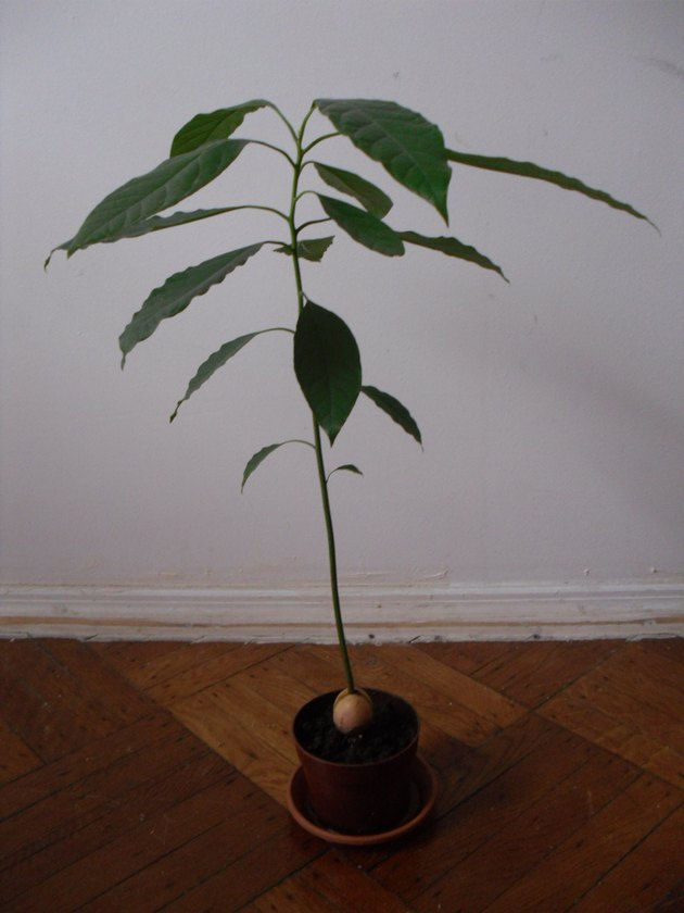 Small Avocado Tree Grown at Home from Seed.