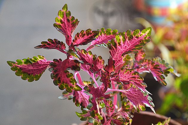 Close-up of coleus in the home balcony