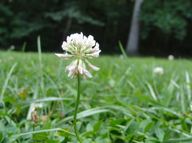 White Clover Blooming Outdoors
