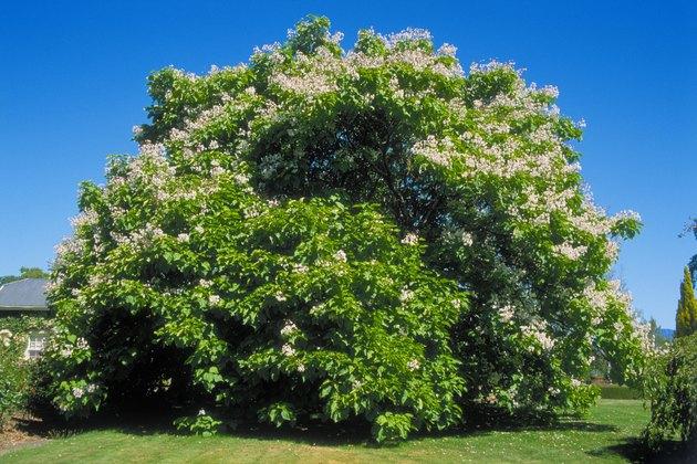 Catalpa bignonioides (Indian Bean Tree), mature tree in parkland