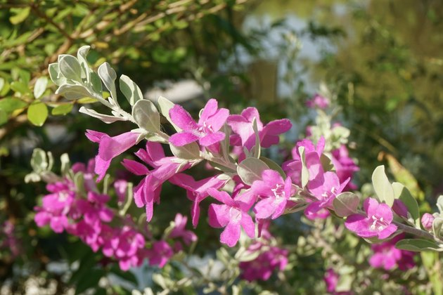 Leucophyllum frutescens flower in nature garden