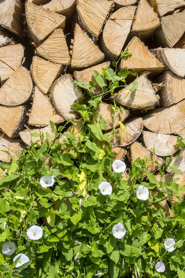 Larger bindweed (Calystegia sepium), white blossoming on woodpile, Styria, Austria