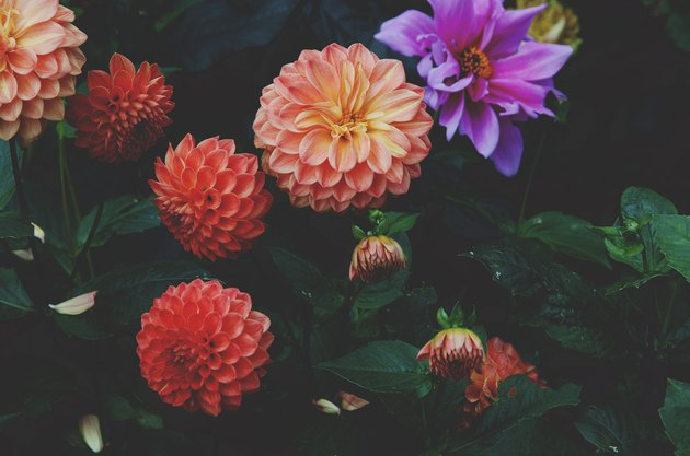 Dahlias in bloom