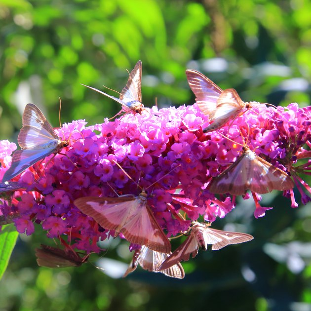 box tree moth butterflies on butterfly-bush