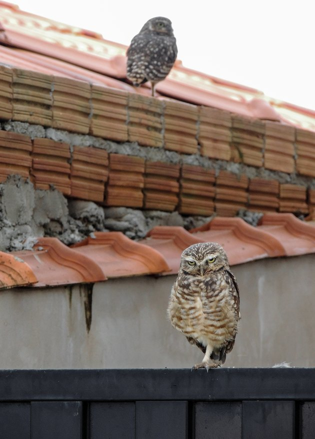 Owls on a House's Rooftop