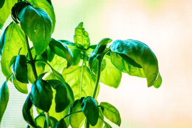 Basil growing on a sunny day inside