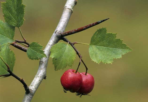 THORN, A MODIFIED LEAF. HAWTHORN Crataegus spp.  Also shows the Fruit. These sharp, spearlike thorns develop from axillary buds.  Thorny shrubs. Michigan
