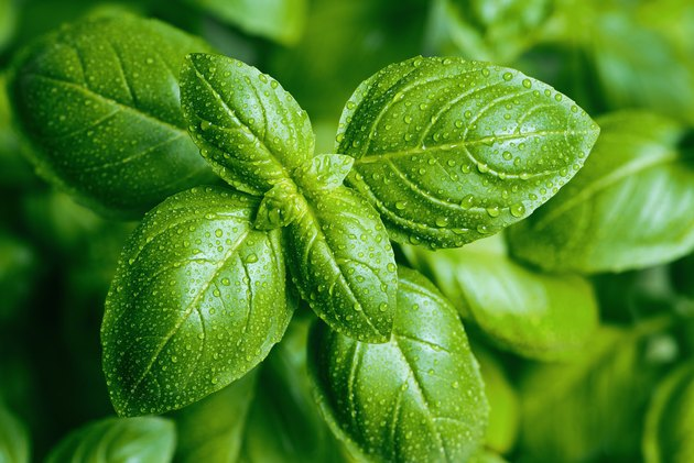 Basil leaves with water drops