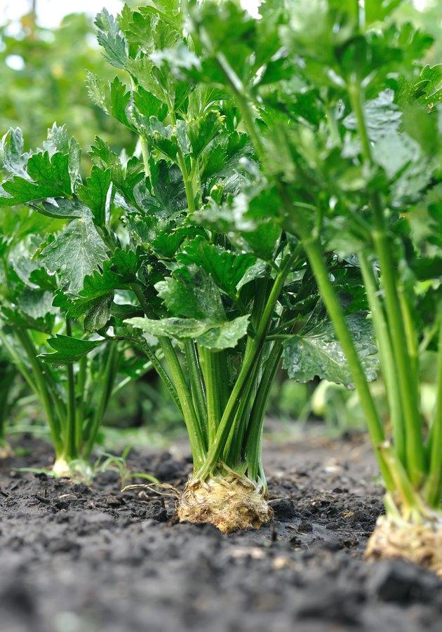 close-up of celery plantation