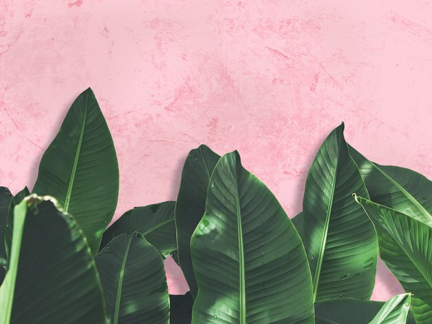 Close up green banana leaves over pink painted grunge concrete wall.