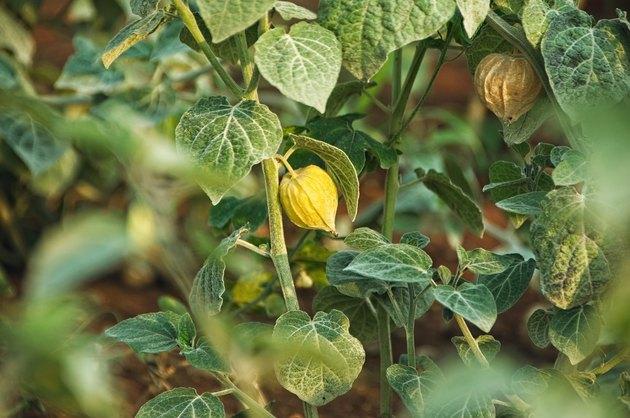 Cape Gooseberry (Physalis peruviana), Uchuva or gold berries on plant.