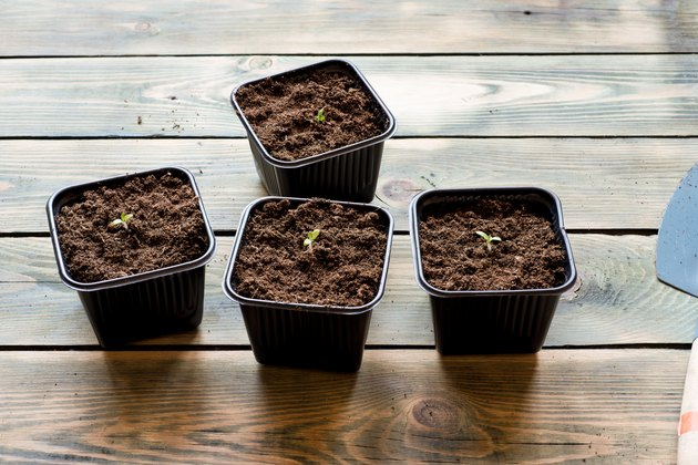 Potted tomato seedlings on a wooden table