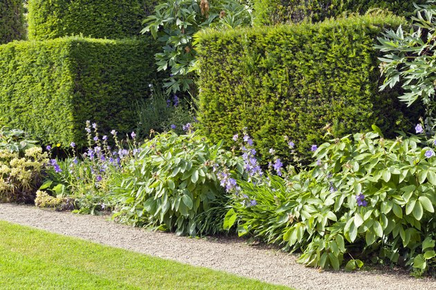 Garden path by a trimmed yew hedge, shrubs and flowers in bloom .