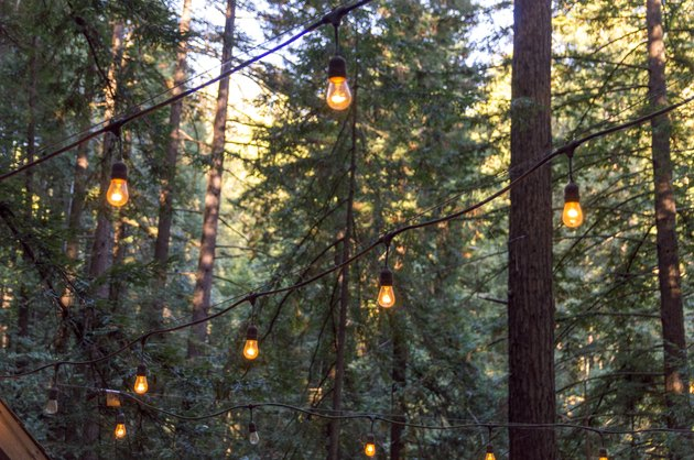 Lights Hanging Among Towering Redwood Trees Growing Near Santa Cruz California