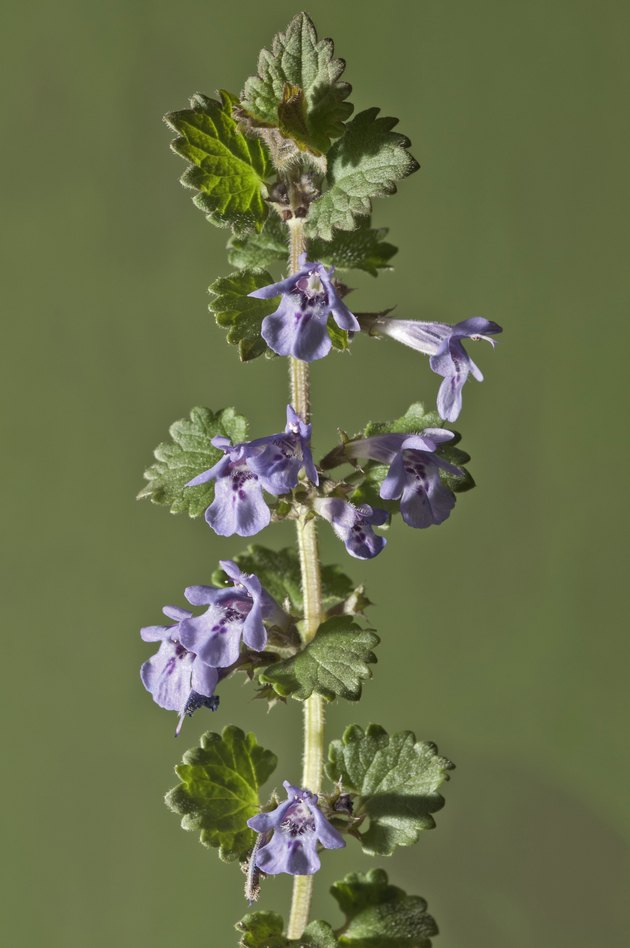 Ground-ivy, Gill-over-the-ground or Creeping Charlie -Glechoma hederacea-, stem with flowers, Untergroningen, Abtsgmuend, Baden-Wurttemberg, Germany