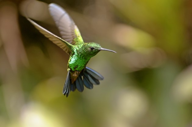 Copper-rumped Blue Tail Hummingbird