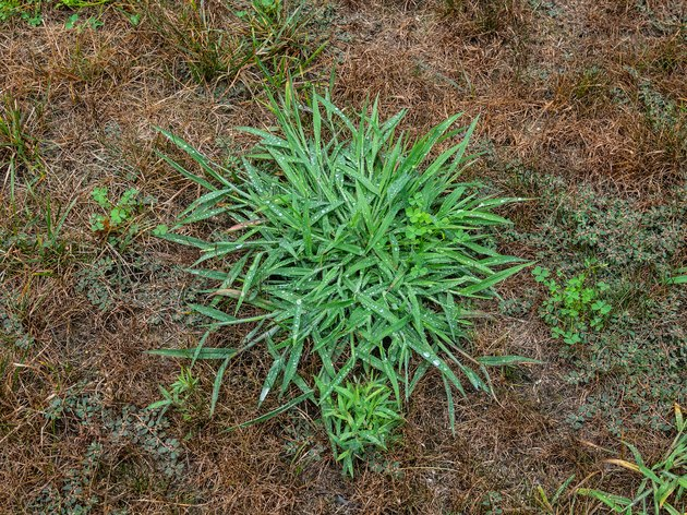 Patch of crabgrass.