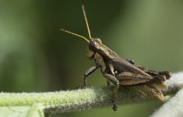 Grasshopper looking away